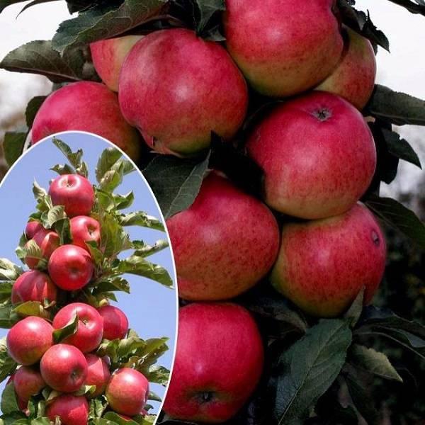 Сорта яблонь для ленинградской области: колоновидные, посадка - сельская жизнь
