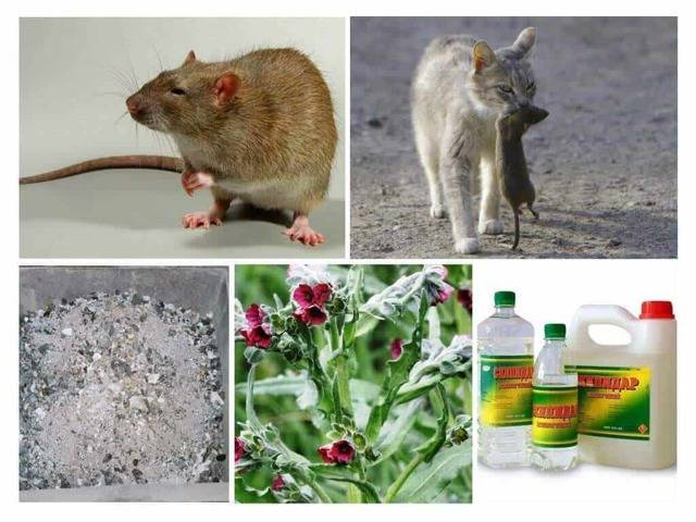 Как избавиться от крыс в курятнике и не убить кур