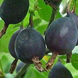 Описание сортов черного крыжовника, правила выращивания и ухода