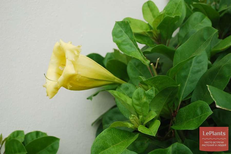 Соландра и правила по уходу за растением в домашних условиях