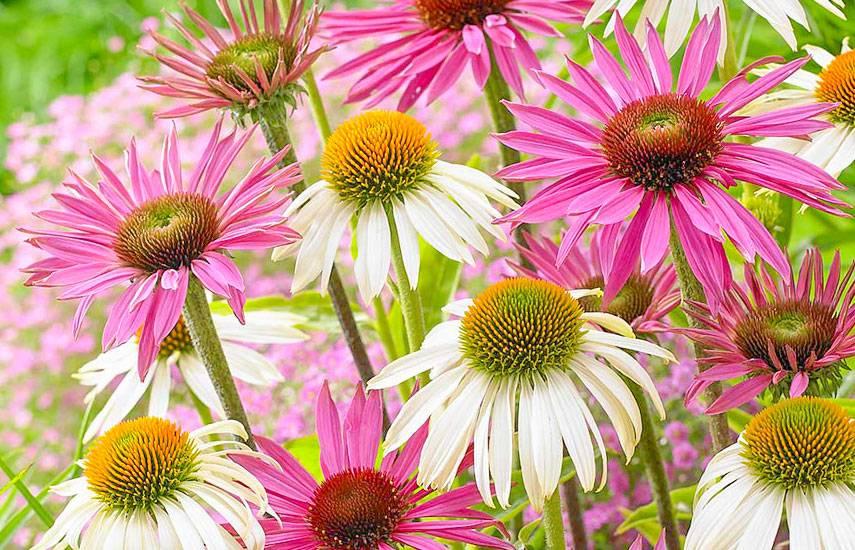 Эхинацея - выращивание из семян, описание и уход