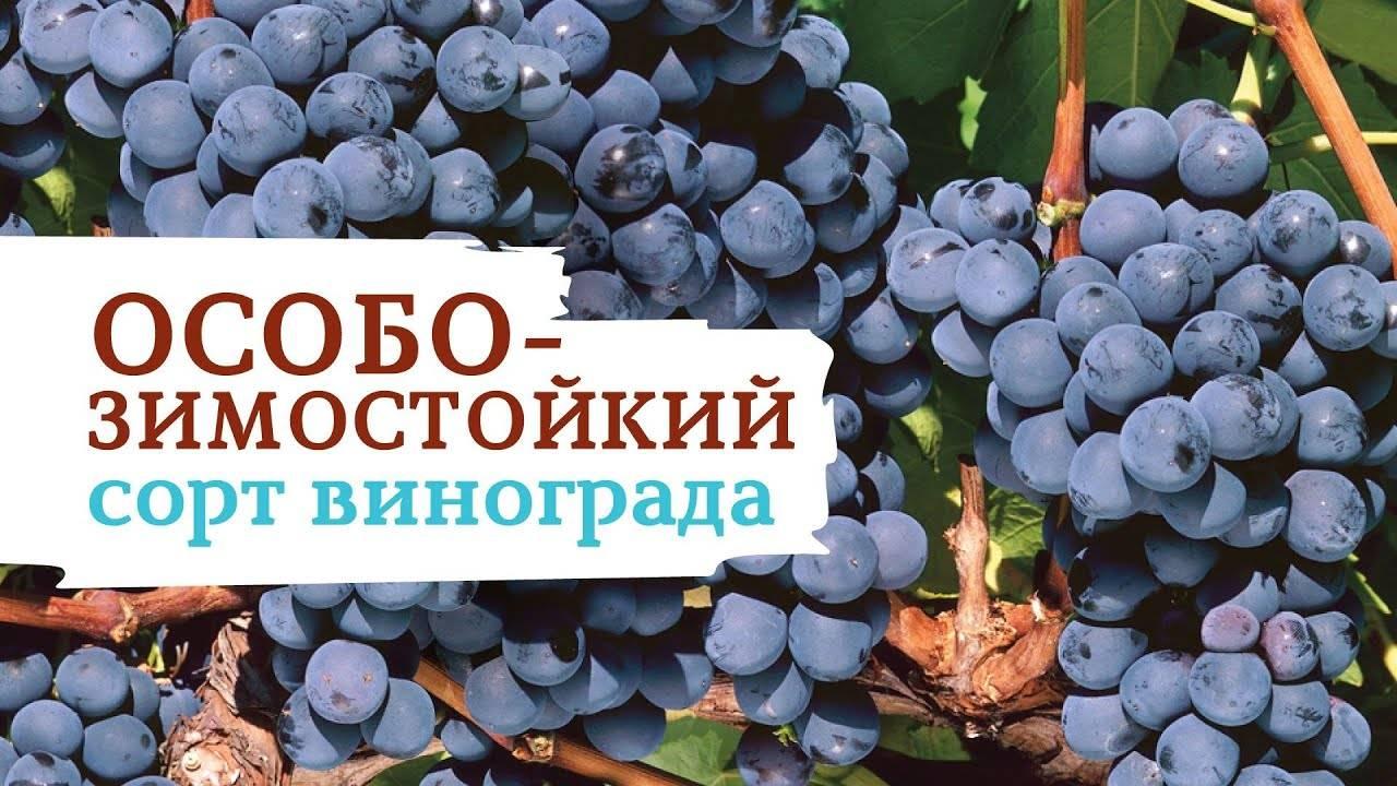 Виноград северный плечистик - описание и особенности выращивания