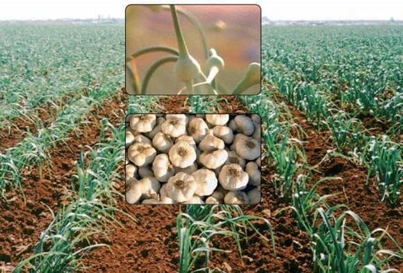 Выращивание чеснока как бизнес: рентабельность дела