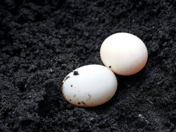 Польза и вред яиц индоутки