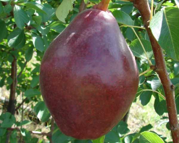"""Груша """"кармен"""": описание особенностей сорта и фото плодов"""