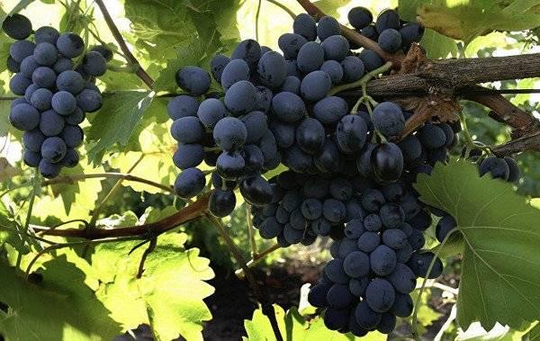 Лучшие сорта винограда для средней полосы россии: винные (технические) и столовые, ранние, среднеспелые и позднеспелые, сладкие