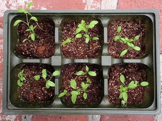 Выращивание петрушки в открытом грунте. когда сеять семена петрушки?