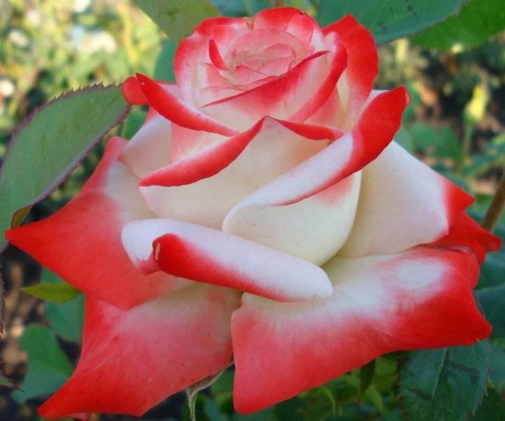 Роза императрица фарах, описание сорта, особенности посадки и выращивания - цветы   описание, советы, отзывы, фото и видео
