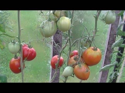 Чем знаменит томат сорта вова путин, особенности агротехники, отзывы фермеров