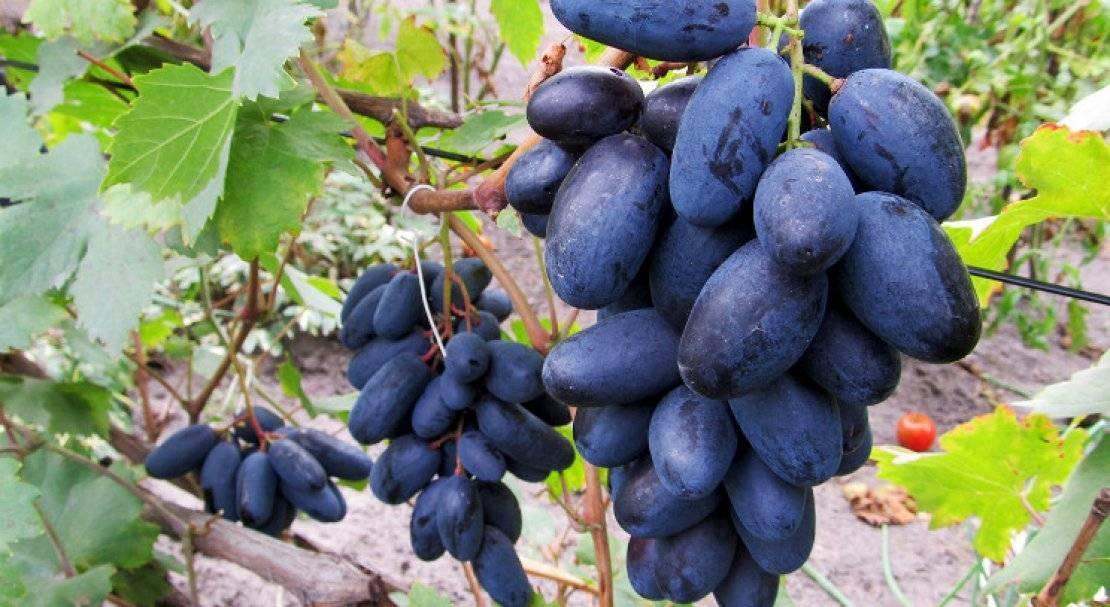 Виноград илья: описание сорта и фото, селекция и посадка, борьба с вредителями selo.guru — интернет портал о сельском хозяйстве