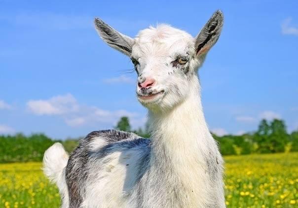 Болезни у коз: причины, симптомы, лечение, профилактика