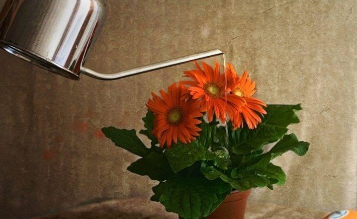 Гербера домашняя - уход, фото, содержание в горшке, выращивание из семян