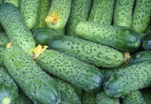 Огурец мамлюк f1 — характеристики, агротехника, реальные отзывы