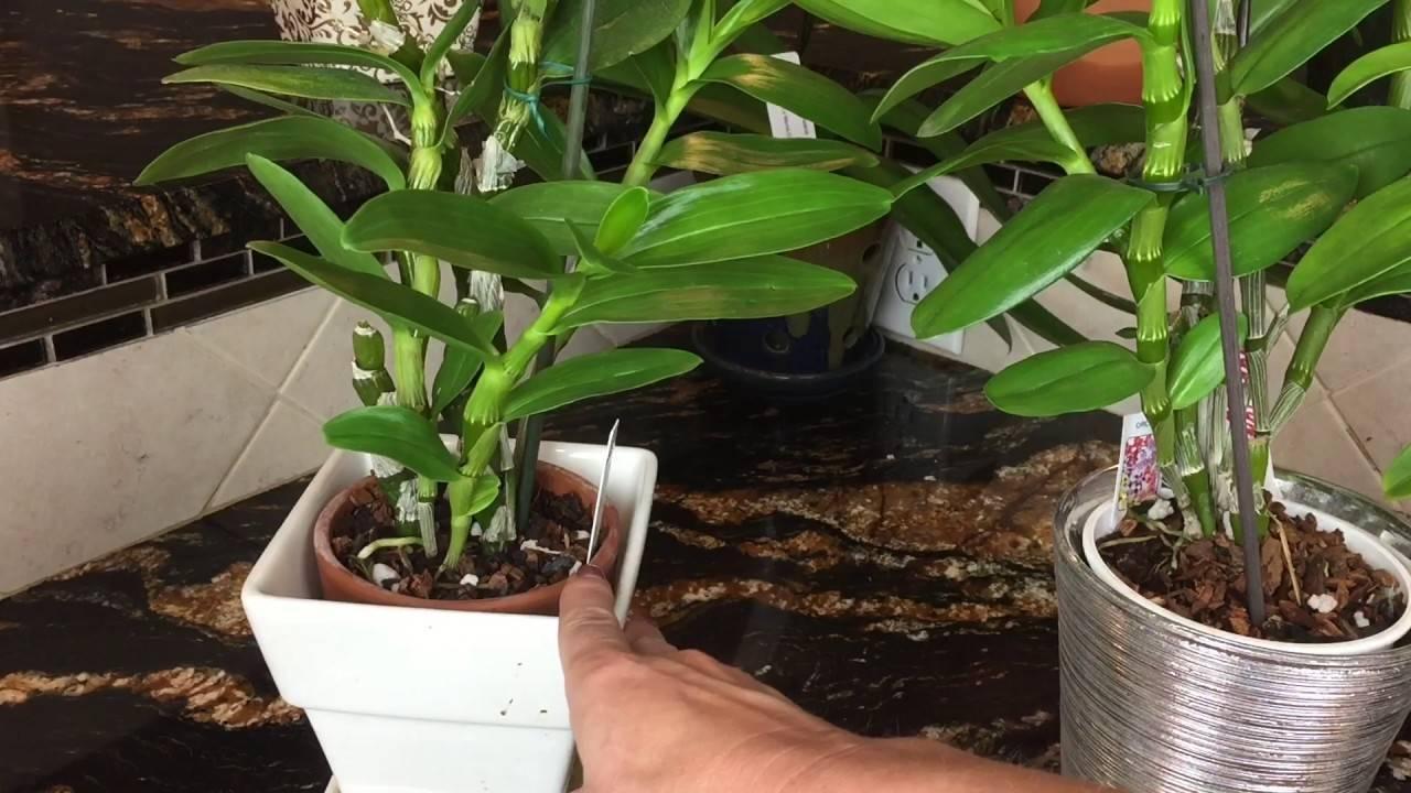 Орхидея дендробиум нобиле, уход в домашних условиях | ароматы и цветы для здоровья-красоты