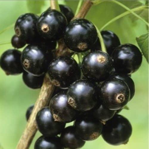 Смородина черная жемчужина: описание сорта