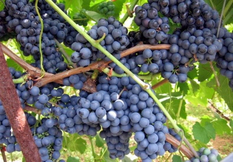 Виноград вэлиант - мир винограда - сайт для виноградарей и виноделов