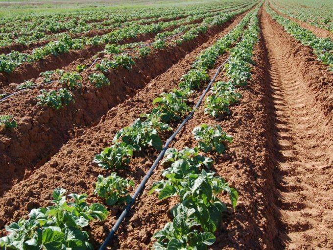 Как осуществлять посадку картофеля в гребни вручную и мотоблоком, в чем плюсы и минусы метода?
