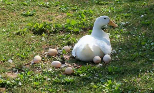 В каком возрасте индоутки садятся на яйца - мечети мира