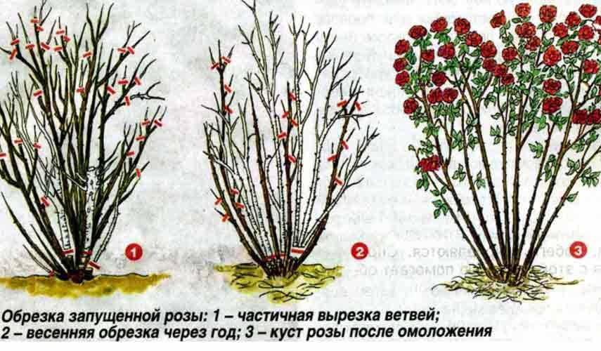 Обрезка розы летом: формируем куст, пробуждение побегов, омоложение розы   огородники
