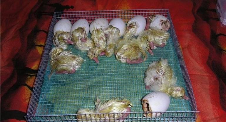 Инкубация гусиных яиц и выведение гусят в домашних условиях: сроки, режимы, температура при инкубационном периоде, фото, видео