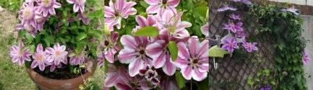 Клематис нелли мозер: характеристика растения и методики выращивания - цветы | описание, советы, отзывы, фото и видео