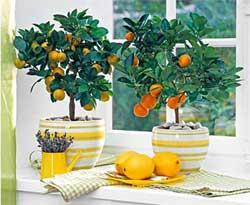 Как посадить лимон в домашних условиях из косточки, выращивание лимонного дерева в горшке, правила и советы