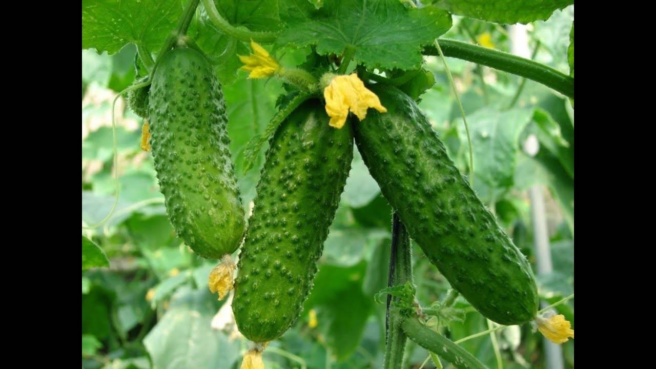 """Сорт огурца """"всем на зависть"""" f1 - описание гибрида, характеристика и особенности выращивания, отзывы с фото"""