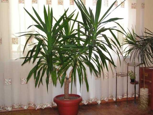 Растение юкка с описанием и фото - выращивание дома, полив и лечение болезней