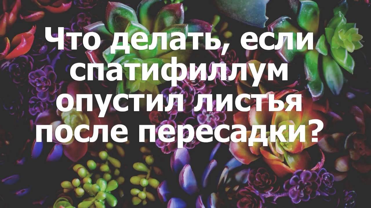 Как спасти спатифиллум: почему цветок женское счастье может погибать, что делать, чтобы реанимировать при заливе и других проблемах и оживить, если он пропадает? selo.guru — интернет портал о сельском хозяйстве