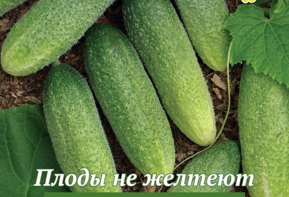 Огурец нежинский: отзывы, описание сорта, фото, характеристика