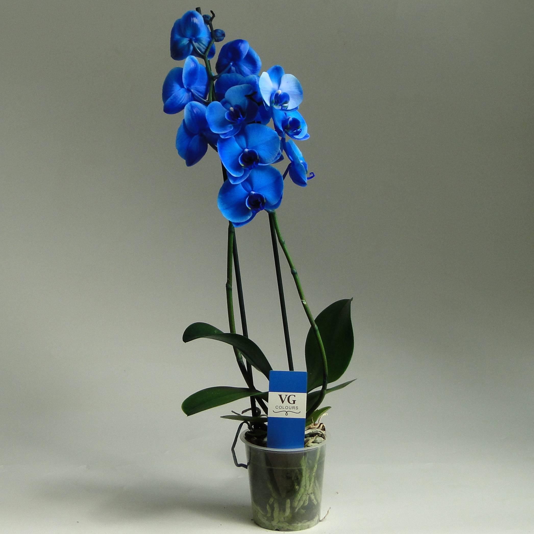 Крупноцветковая королевская орхидея фаленопсис