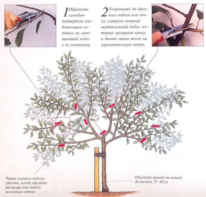Обрезка вишни осенью с видео для начинающих