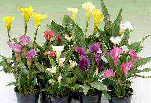 Особенности выращивания каллы эфиопской в домашних условиях. калла белая. как ухаживать за белой каллой цветок калла эфиопская