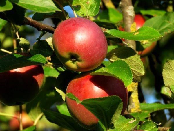 Описание и фото яблони осенняя радость - медоносы | описание, советы, отзывы, фото и видео