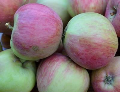 Описание и характеристики сорта яблонь июльское черненко, история и выращивание - всё про сады