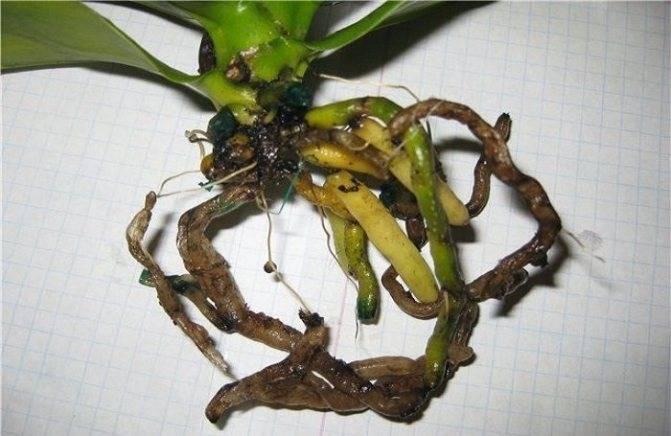Как реанимировать орхидею если сгнили корни