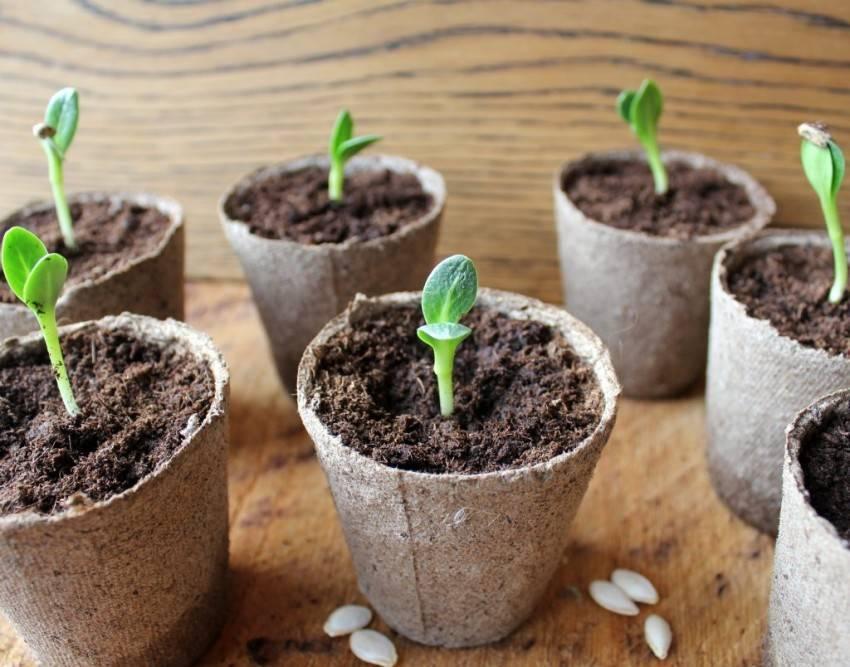Как правильно замачивать семена перед посадкой - дачные советы