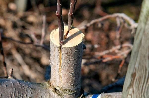 Когда прививать яблони: лучшие сроки - в какое время лучше. агрономические данные