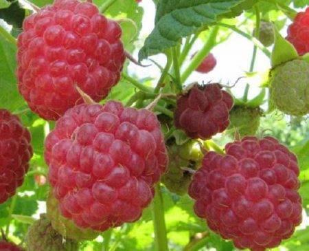 Подробное описание сорта малины недосягаемая