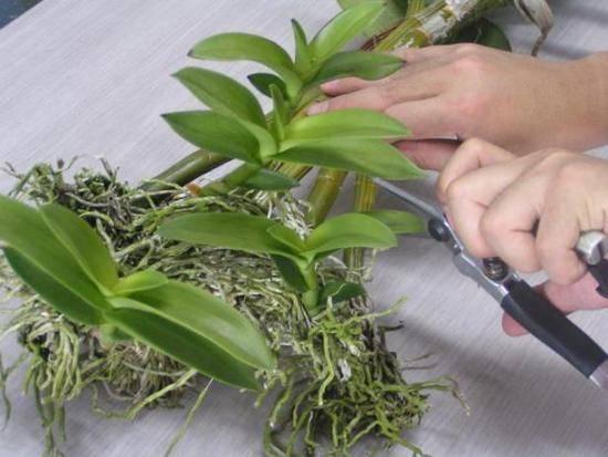 Интересные факты про размножение орхидеи детками в домашних условиях