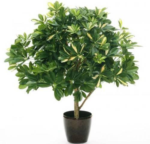 Рекомендации по уходу в домашних условиях за растением «шеффлера древовидная»