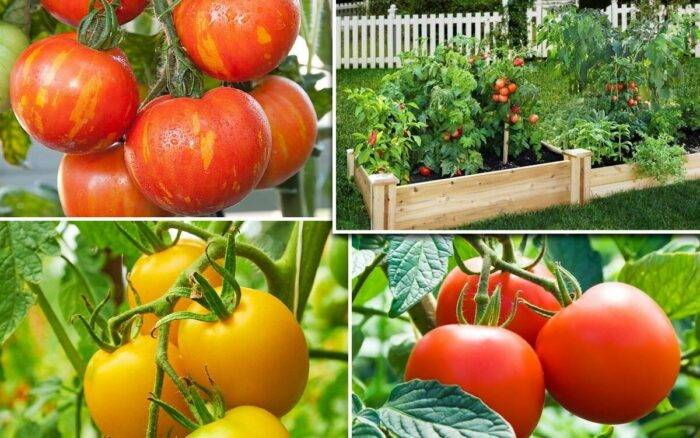 Подкормка помидор в июле