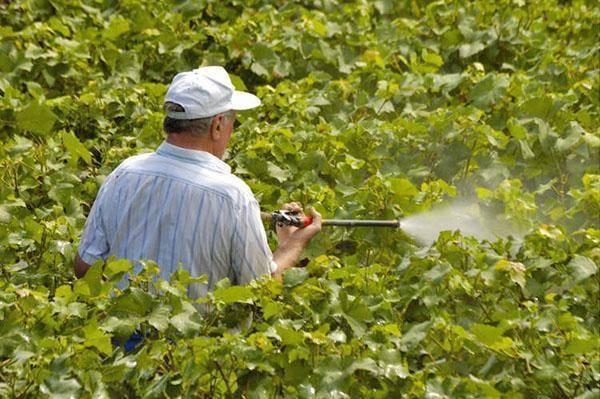 Обрабатываем виноград медным купоросом правильно