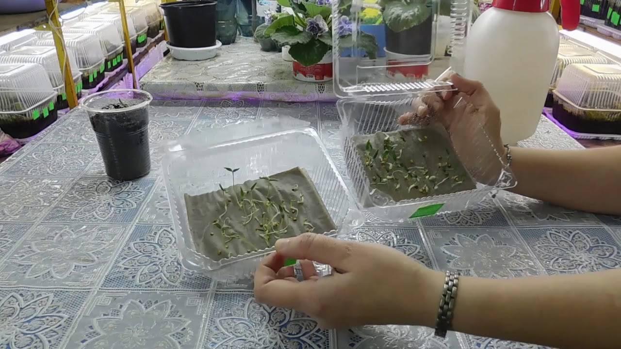Замачивание семян перца перед посадкой: правила подготовки, видео и фото