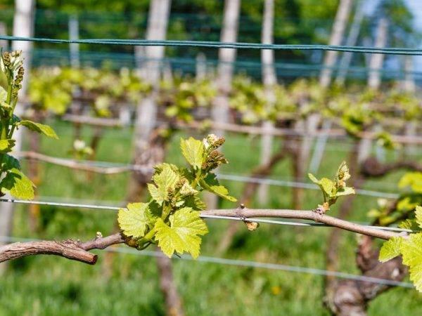 Виноград рута – сильнорослый виноград с чудесным вкусом