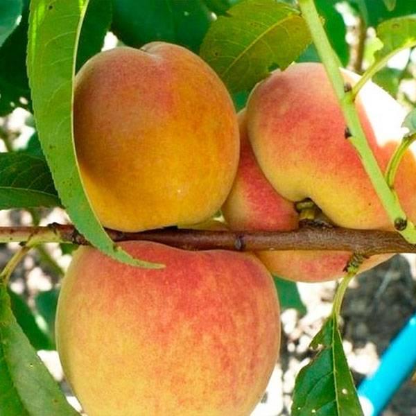 Сорт персика редхейвен, описание, фото, характеристика и отзывы, а также особенности выращивания