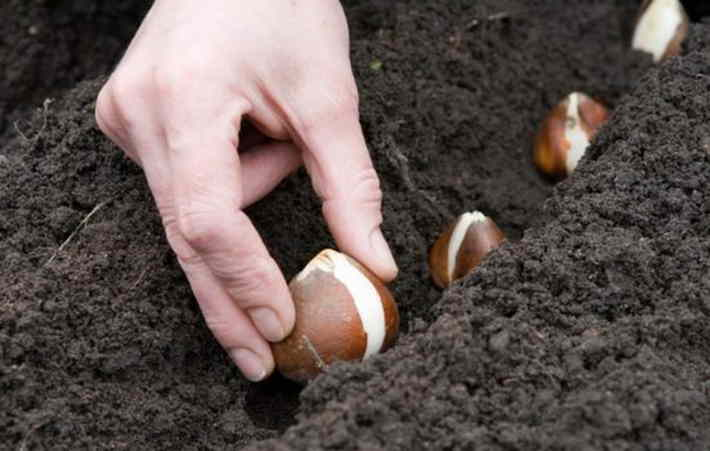 Посадка тюльпанов осенью – когда и как посадить в разных регионах