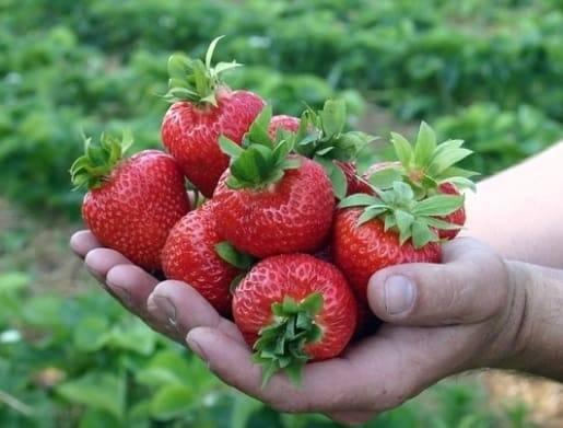 Описание сорта клубники полька – сладкие ягоды с карамельным привкусом