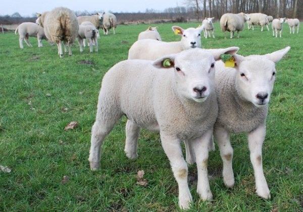 Овцеводство: разведение овец в домашних условиях для начинающих — finfex.ru
