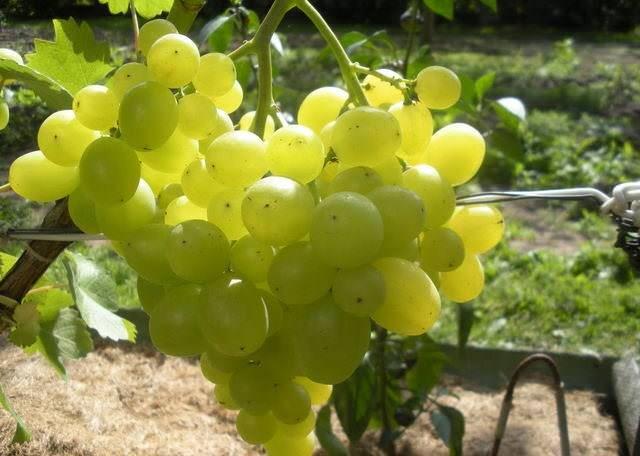 Супер экстра — один из сверхранних сортов винограда от простого шахтёра из ростова